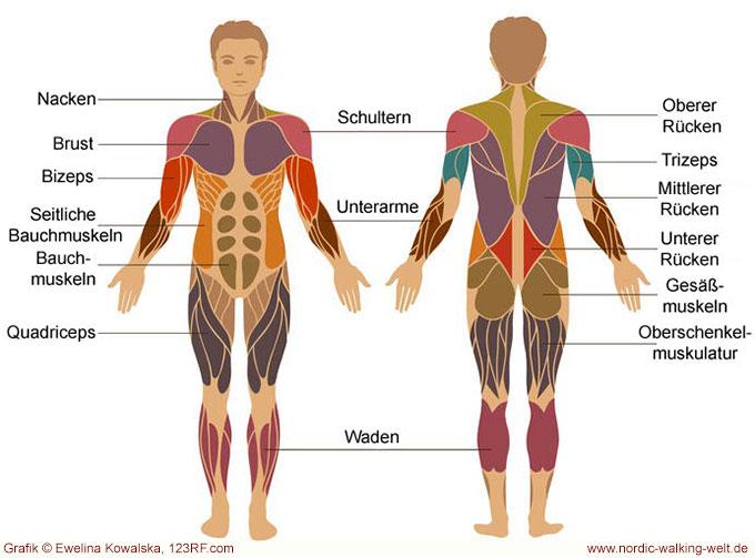 Beim Nordic Walking werden viele Muskeln beansprucht. www.nordic-walking-welt.de