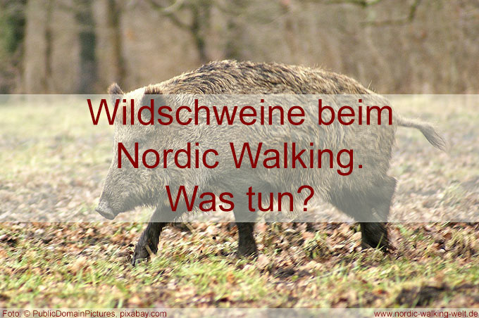 Eine Wildschweinbegegnung beim Nordic Walken, was tun bei einer Begegnung mit Wildscheinen beim Nordic Walking?